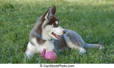 Husky puppy - charming husky puppy in the park