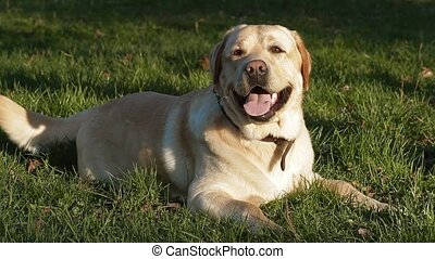 labrador dog in the park