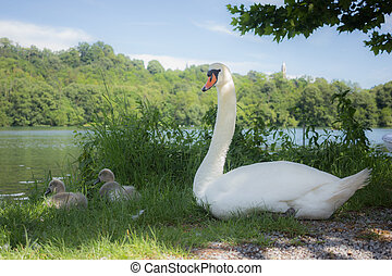 Family of swans - Two young swan near their mother on the...