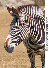 Portrait of Zebra - Close up Portrait of Zebra (Equus...