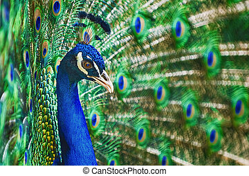 Portrait Of Peacock - Portrait Of The Peacock During...