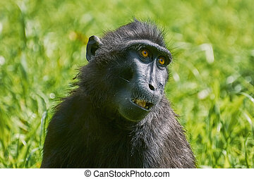 Celebes Crested Macaque - Portrait of Celebes Crested...