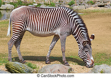 Zebra (Equus Quagga) Feeding on Grass
