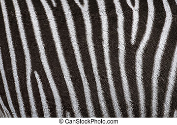 Zerbra Coat Background - Zerbra Black and White Striped Coat...