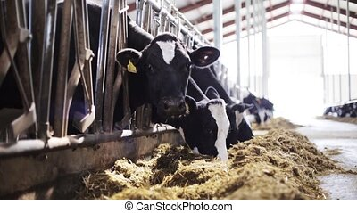 herd of cows eating hay in cowshed on dairy farm