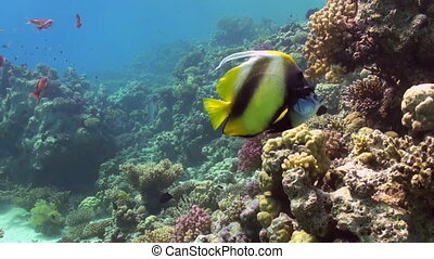 Butterfly fish on coral reef in search of food - Butterfly...
