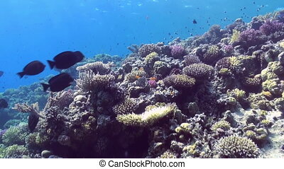 Underwater landscape of coral reef. Red Sea.