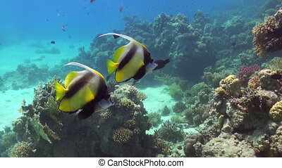 Butterfly fish on coral reef in search of food.
