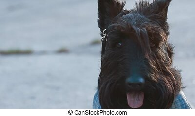 Scottish terrier dog with overalls in the park