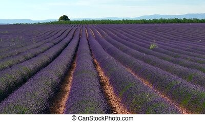 Fields With Lavender In Blossom - Lavender field in...
