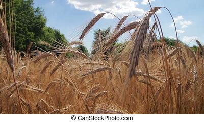 Cereal Field and Spikelets - Gold Wheat Field and Spikelets,...