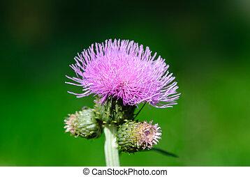 milk thistle flower - thistle flower on blurred background