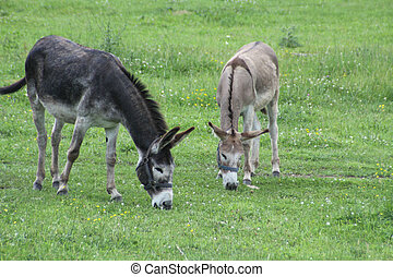Donkeys (in the field) - The donkey is a herbivorous animal...