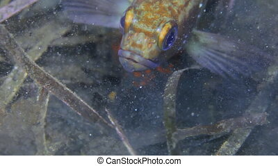 Fish and urchin in underwater rocks on Japan Sea Amazing...