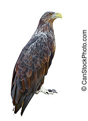 White-tailed Eagle (Haliaeetus albicilla) on a white...