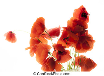 Poppies white bg - A bunch of red poppies spring flowers...