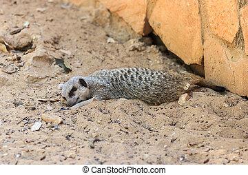 Meerkats sleeping afternoon on the sand under the sun