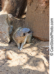 Meerkats sitting afternoon on the sand under the sun