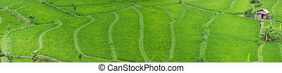 Rice field - Panorama of beautiful rice field in Bali...