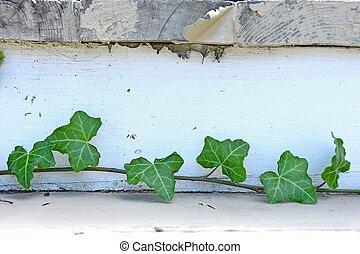 ivy vine on wooden steps - Close up of ivy vine on wooden...