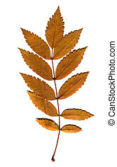 Autumn Leaf isolated - Autumnal Leaf Isolated on the White...
