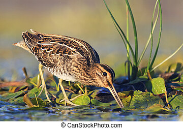 snipe gets food from under the mud,snipe, sandpipers, bird...