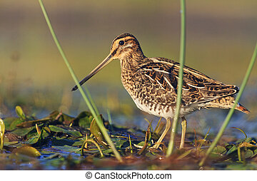 snipe at the front of the rack,snipe, sandpipers, bird...