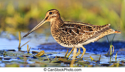 snipe among aquatic vegetation,sandpiper, trophy hunting,...