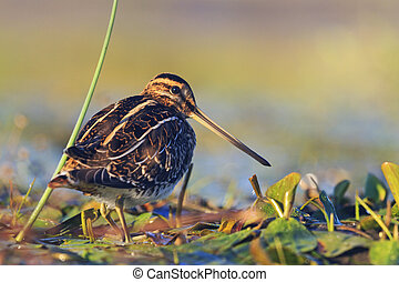 snipe basking in the morning sun,snipe, sandpipers, bird...