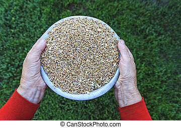 caring grandmother hands holding a bowl of wheat...