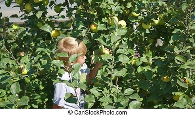 the child picks an Apple and eats - the child picks a fresh...