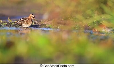 two snipe wash in the lake snipe, sandpipers, bird hunting,...