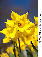Daffodils - Close up of daffodils in april