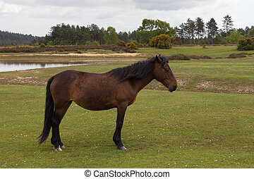 Wild New Forest Pony posing