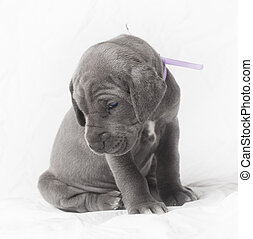 Coy puppy - Purebred blue Great Dane puppy on white playing...
