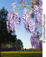 Blooming flowers - Bunches of wisteria flowers hanging from...