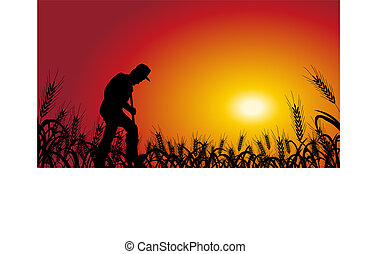 farmer in wheat field - A farmer is working in wheat field,...
