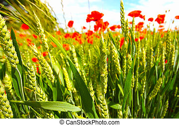Young wheat growing in the fields - Young wheat with poppies...
