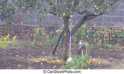 Apple Tree In The Rain - Apple tree in autumn under the rain...