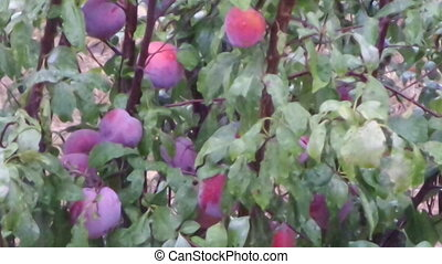 Plums In Tree Under The Rain - Ripe plums in the tree under...