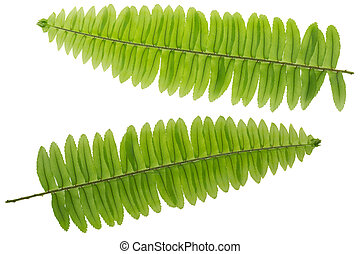 Fresh lush Fern leaf twig, green leaves isolated on white...