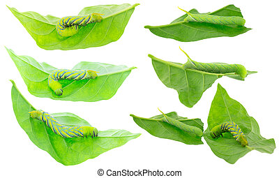 Green Caterpillar of deaths head hawkmoth on green leaves in...