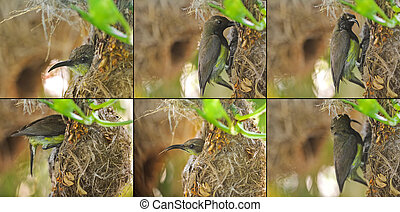 Patents of olive-backed yellow-bellied sunbird visiting a...
