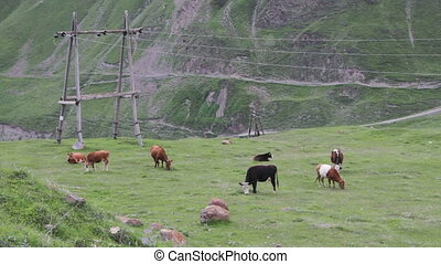 Cows Grazing on a Mountain Pasture. Cows grazing grass on...