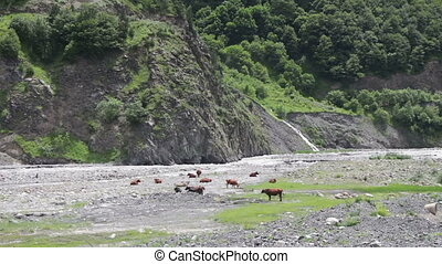 Cows Graze in the Mountains near the Mountain Stream
