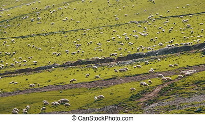 Huge Flock of Sheep Grazing on a Mountain Pasture