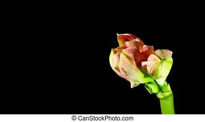 Flower opening timelapse