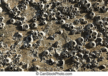 Barnacles on Rock.
