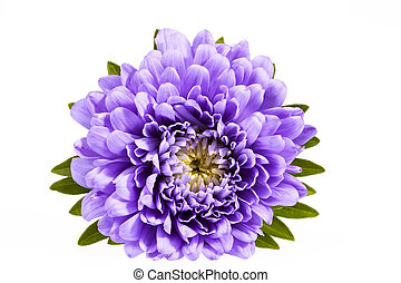 Single violet flower of aster isolated on white background,...