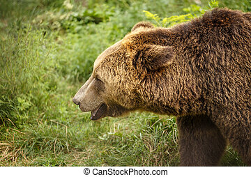 Brown Bear profile head in forest